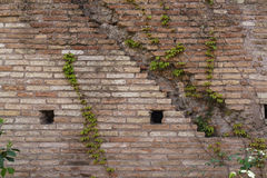 Old aged brick wall texture with cute green ivy leaves creeper c Royalty Free Stock Photo
