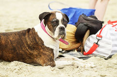 Old aged healthy pet Boxer breed dog sitting on white sand beach Gold Coast Australia Stock Photography