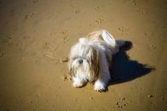 Lovely Shih-Tzu relaxed on the beach royalty free stock photo