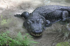 Old Alligator. Resting at waters edge Stock Photography