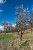 Old almond orchard. Old extensive almond orchard located in Czech Republic Royalty Free Stock Images