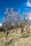 Old almond orchard Stock Photography