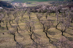 Old almond orchard. Old extensive almond orchard located in Czech Republic Stock Photography