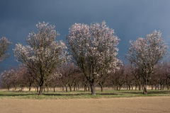 Old almond orchard. Old extensive almond orchard located in Czech Republic Royalty Free Stock Photos