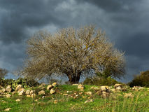 Old almond tree Royalty Free Stock Images