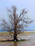 Old, Alone, and Dying Tree royalty free stock images