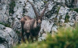 Old alpine capricorn Steinbock Capra ibex standing on rock looking at camera, brienzer rothorn switzerland alps. Old alpine capricorn Steinbock Capra ibex Stock Photos
