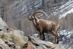 Old Alpine Ibex in Italian Alps Royalty Free Stock Images