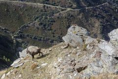 An old Alpine Ibex mountain goat with one horn on the rocks in the meadows, Mount Blanc, France. Perfect moment in alpine highlands Stock Photos