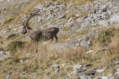 An old Alpine Ibex mountain goat with one horn on the rocks in the meadows, Mount Blanc, France. Perfect moment in alpine highlands Stock Images