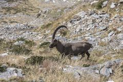 An old Alpine Ibex mountain goat with one horn on the rocks in the meadows, Mount Blanc, France. Perfect moment in alpine highlands Royalty Free Stock Image
