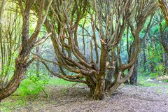 Amazing tree with crooked branches in the old forest royalty free stock image