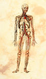 Old Anatomical Model Stock Photo