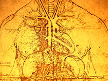 Old Anatomy. Photo of the Vitruvian Man by Leonardo Da Vinci from 1492 on textured background Stock Images