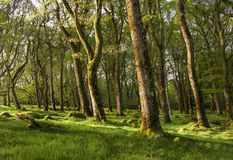 Old ancient green forest sunlight catching the trees. Walking thorugh beautiful irish forest walking the wicklow way royalty free stock images