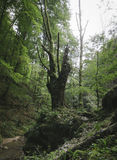 Old ancient tree in green jungle Royalty Free Stock Images