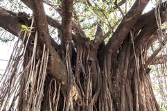 Old ancient tree with long roots Royalty Free Stock Images