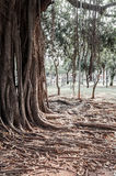 Old ancient tree with long roots Royalty Free Stock Photo