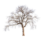 Free Old And Dead Tree Royalty Free Stock Image - 31114116