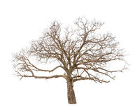 Free Old And Dead Tree Royalty Free Stock Photos - 31914998