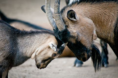 Free Old And Young Goat Stock Photos - 23455583