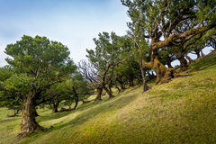 Old angled trees of Fanal virgin forest, Madeira island Royalty Free Stock Photo