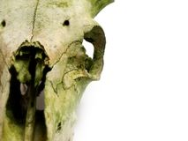 Old animal skull with broken horns against white b Stock Photos