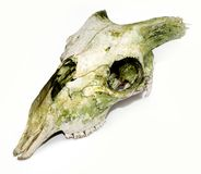 Old animal skull with broken horns against white b Royalty Free Stock Photos