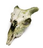 Old animal skull with broken horns against white b Royalty Free Stock Photography