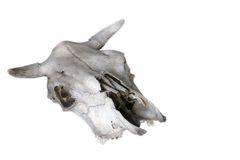 Old animal skull isolated Royalty Free Stock Images