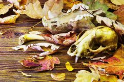 Old animal skull in a pile of rotting leaves Stock Images