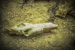 Animal Skull. Old animal skull in the sand royalty free stock photos