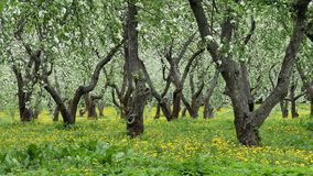 Old apple orchard blooming in springtime. stock footage