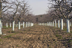Old apple orchard with trees coated with fungicide. For the protection in spring,copper sulfate , Bordeaux mixture stock images