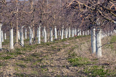 Old apple orchard with trees coated with fungicide. For the protection in spring,copper sulfate , Bordeaux mixture stock photo