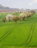 Old apple orchard by vines in Castell Germany Stock Images