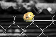 An old apple sticked on a barbed fence Royalty Free Stock Photography