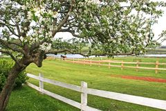 Old Apple Tree Stock Photo