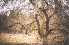 Old apple tree Royalty Free Stock Photo