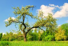 Old apple tree in bloom in spring season Stock Photo