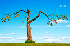 Old apple tree Stock Photography