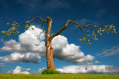 Old apple tree Royalty Free Stock Image