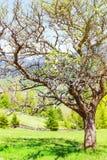 Old apple tree Stock Photo