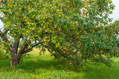 old apple tree in the garden Stock Images