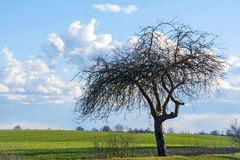 Old apple tree on a green field against blue sky with clouds. Bare old apple tree standing alone on a wide green field against blue sky with clouds, spring scene Royalty Free Stock Images
