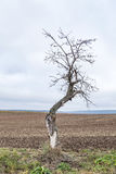 Old apple tree grows on a meadow Stock Photos