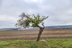 Old apple tree grows on a meadow Royalty Free Stock Photo