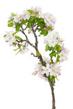 Old apple tree new flowers Stock Image