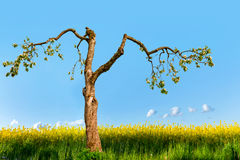 Old apple tree in rapeseed field Royalty Free Stock Images