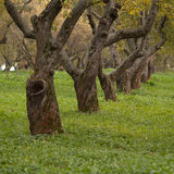 Old apple tree Royalty Free Stock Images